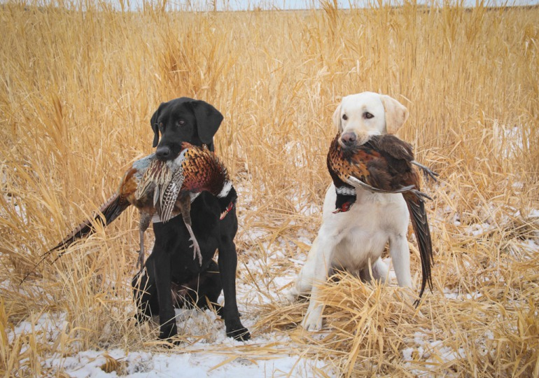 South Dakota Luxury Pheasant Hunt - Gettysburg
