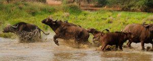 Cape Buffalo Hunt