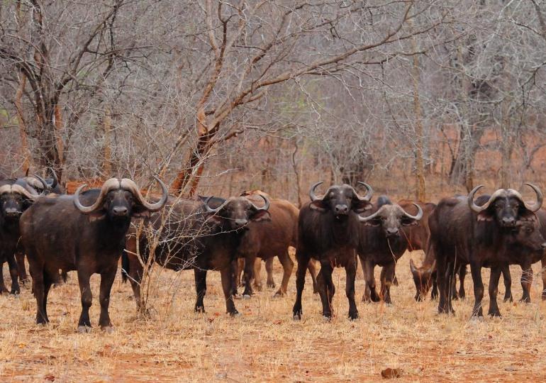 Zimbabwe Cape Buffalo Hunt