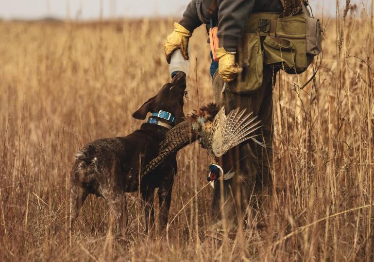 Kansas Luxury Pheasant Hunt