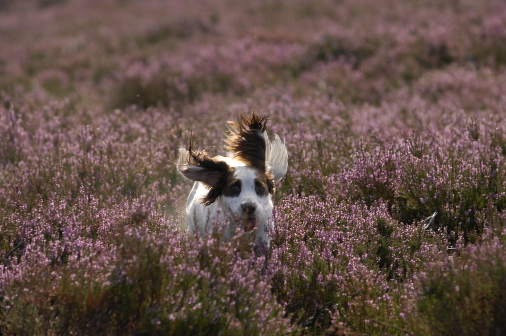 Scottish Grouse Shoot