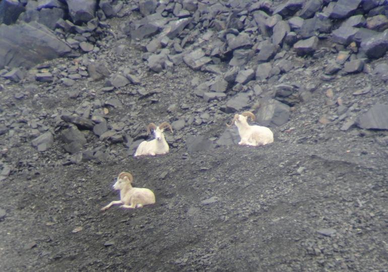 Alaska Moose Hunt & Dall Sheep