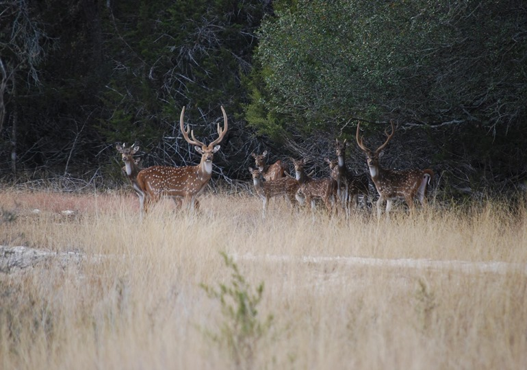 Texas Luxury Axis Hunt – Free Range