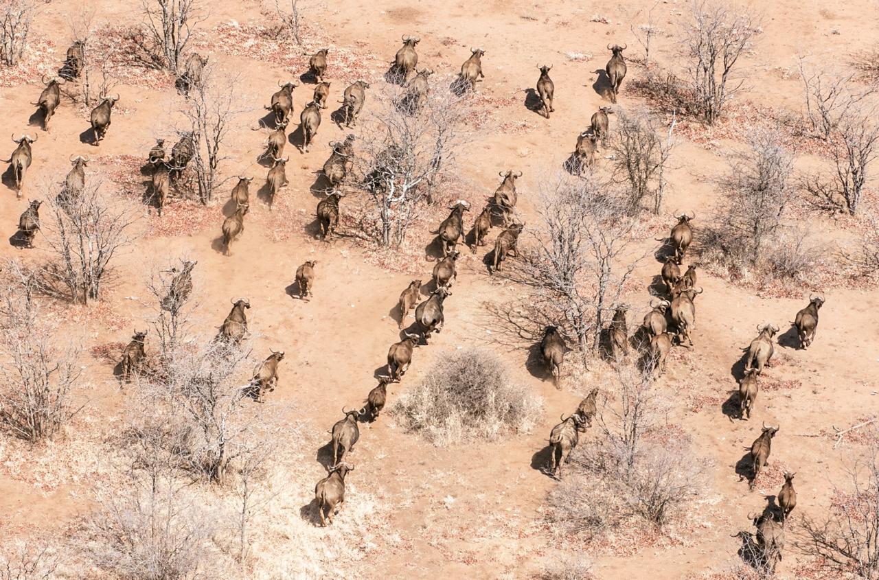 Zimbabwe Cape Buffalo Hunting