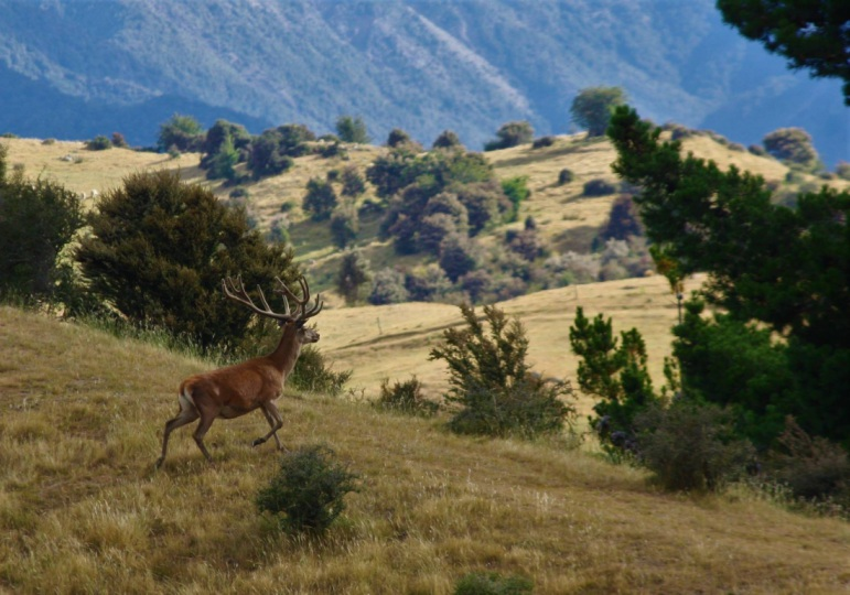 New Zealand Hunting - Marlborough