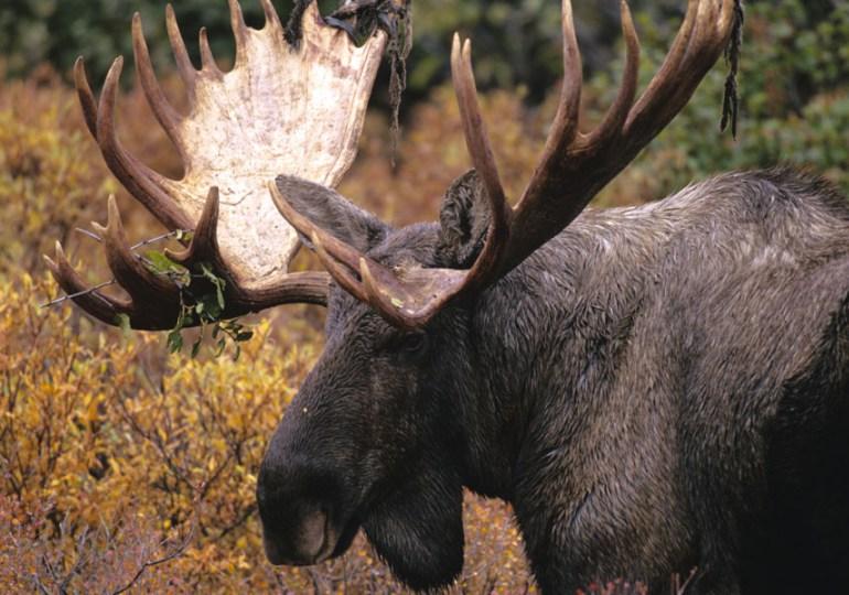 Newfoundland Caribou & Moose Hunting